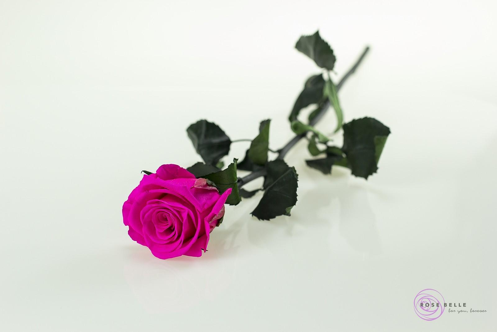 Rose Belle - róża krótka w kolorze elektryzująco różowym pokazana w całości.