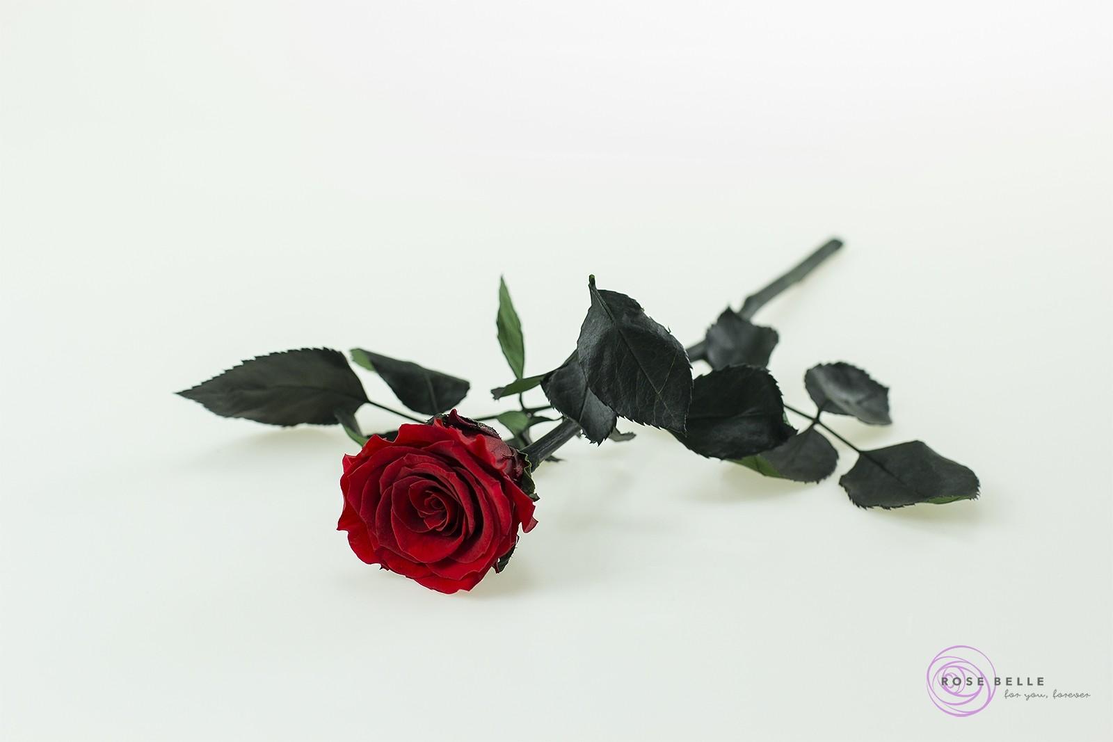 róża krótka w kolorze czerwonym.